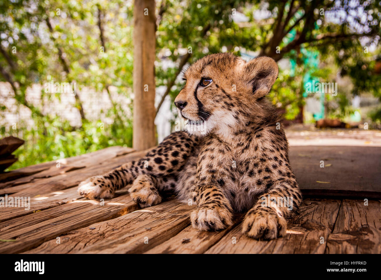 Cheetah in South-Africa - Stock Image