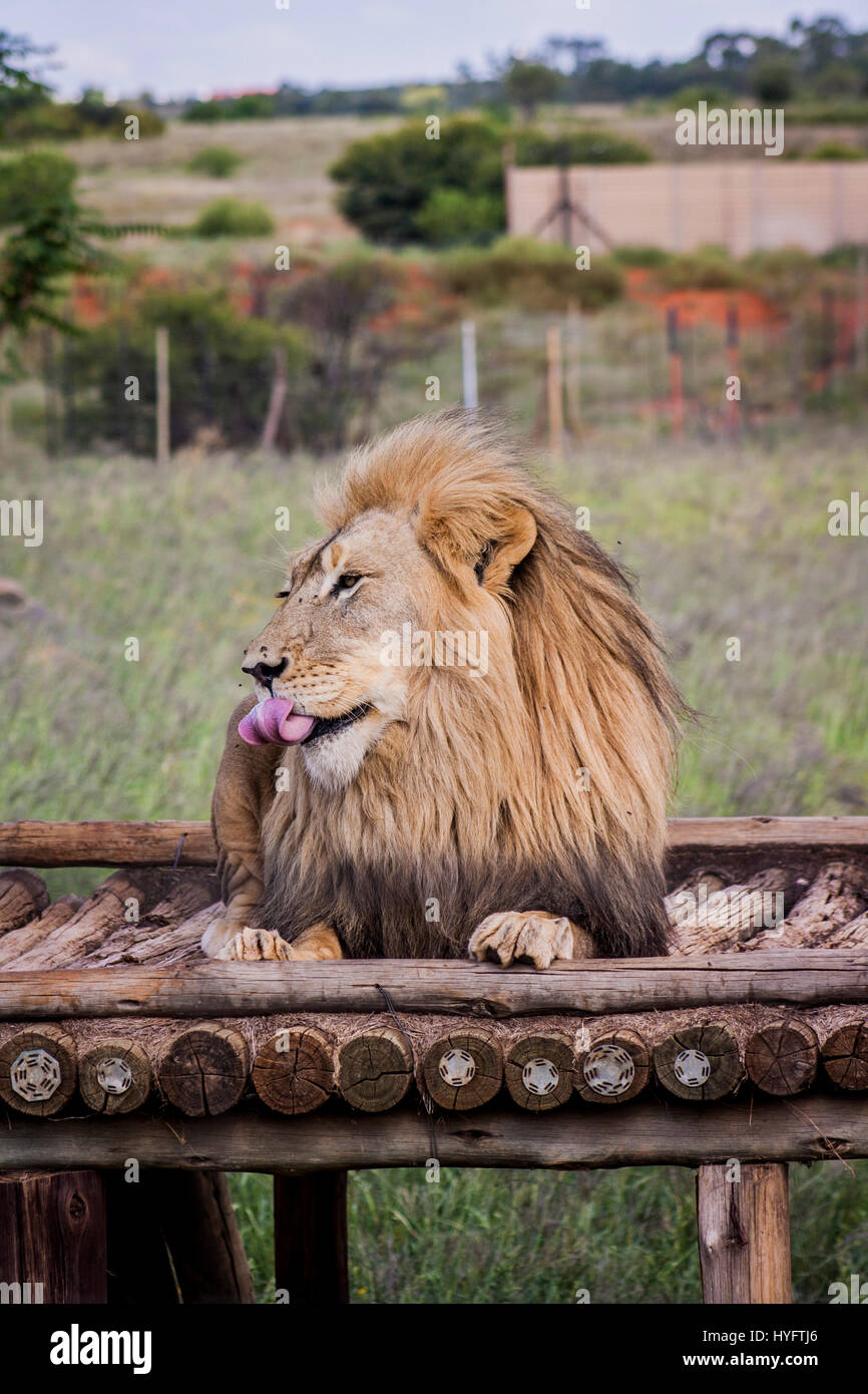 Lion in Africa - Stock Image