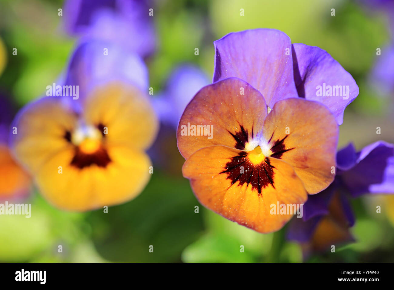 A colorful Pansy flower growing in the garden at spring, another flower on the left blurred for effect, shallow - Stock Image