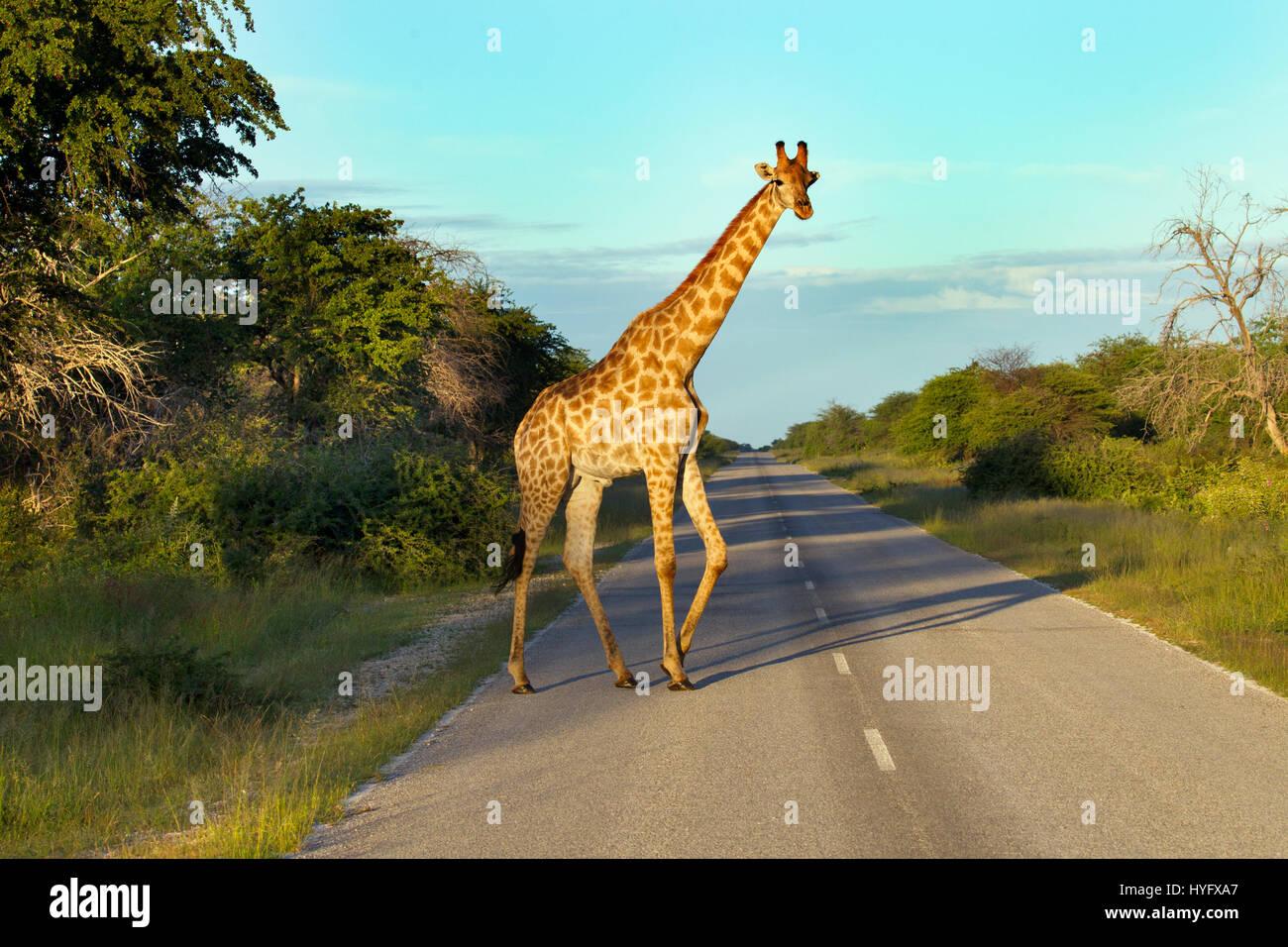 Angolan giraffe Giraffa giraffa angolensis crossing road - Stock Image