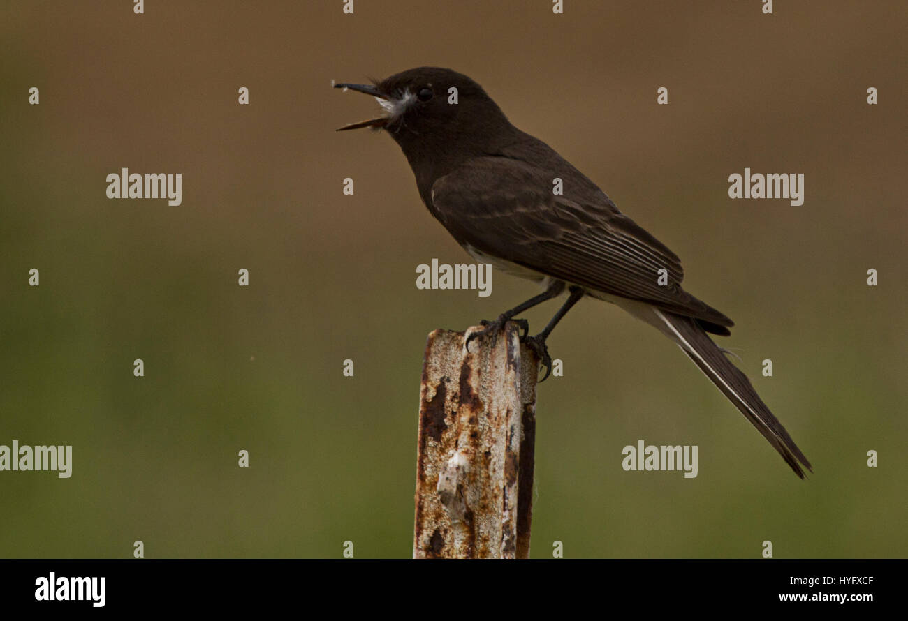 Black Phoebe (Sayornis nigricans) calling from a fencepost. - Stock Image