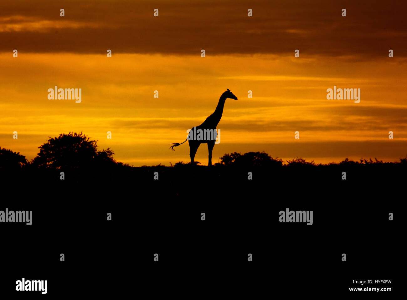 Angolan giraffe Giraffa giraffa angolensis known as Namibian giraffe at sunrise northern Namibia - Stock Image
