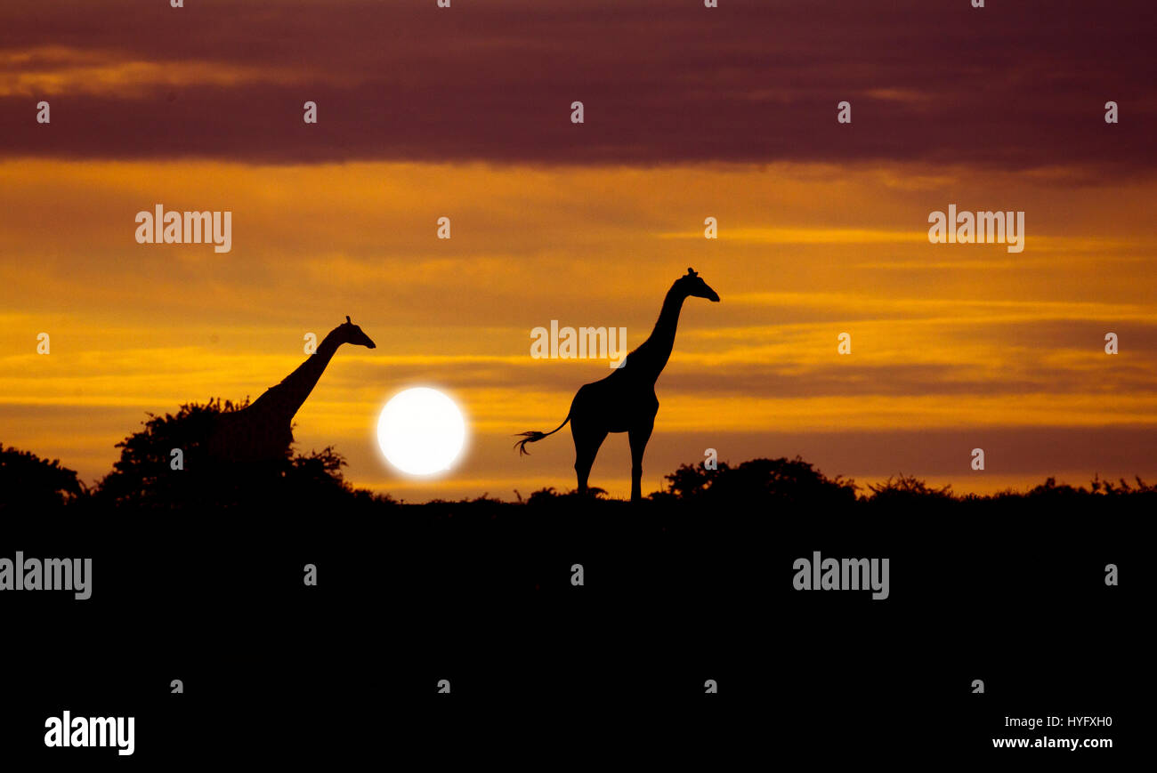 Angolan giraffe Giraffa giraffa angolensis known as Namibian giraffe at sunrise northern Namibia - Stock Image