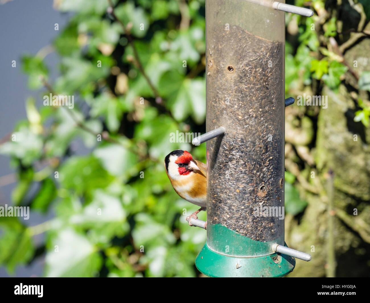 Male European Goldfinch (Carduelis carduelis) finch in spring on a garden bird feeder in a hedgerow. Wales, UK Britain - Stock Image