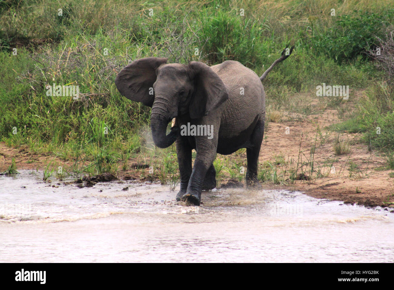 "THE MOMENT a feared sixteen-foot long crocodile called ""Jaws"" tried to take down an adult eight-foot high elephant - Stock Image"