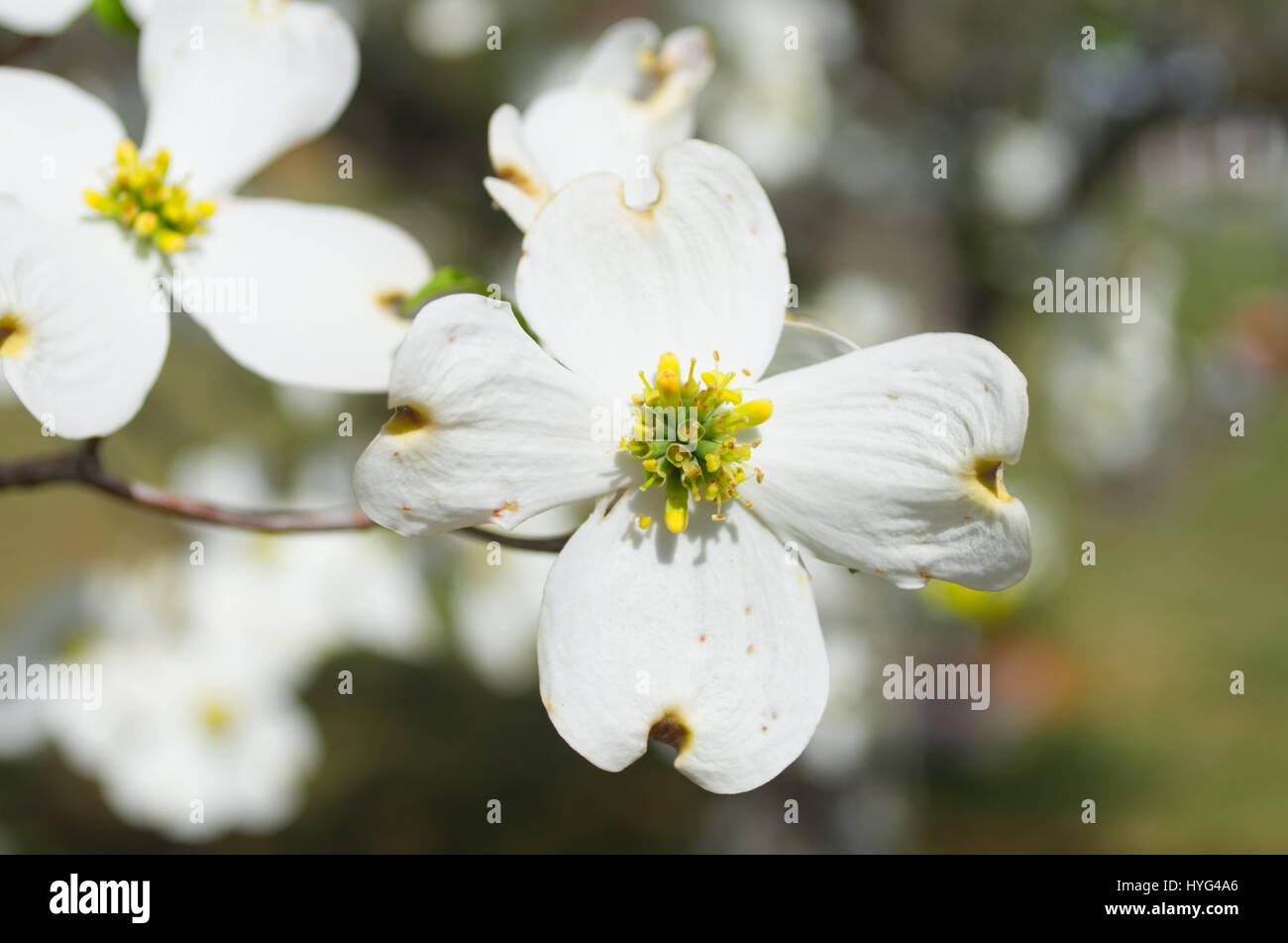 White Puffy Flowers Stock Photos & White Puffy Flowers Stock Images ...