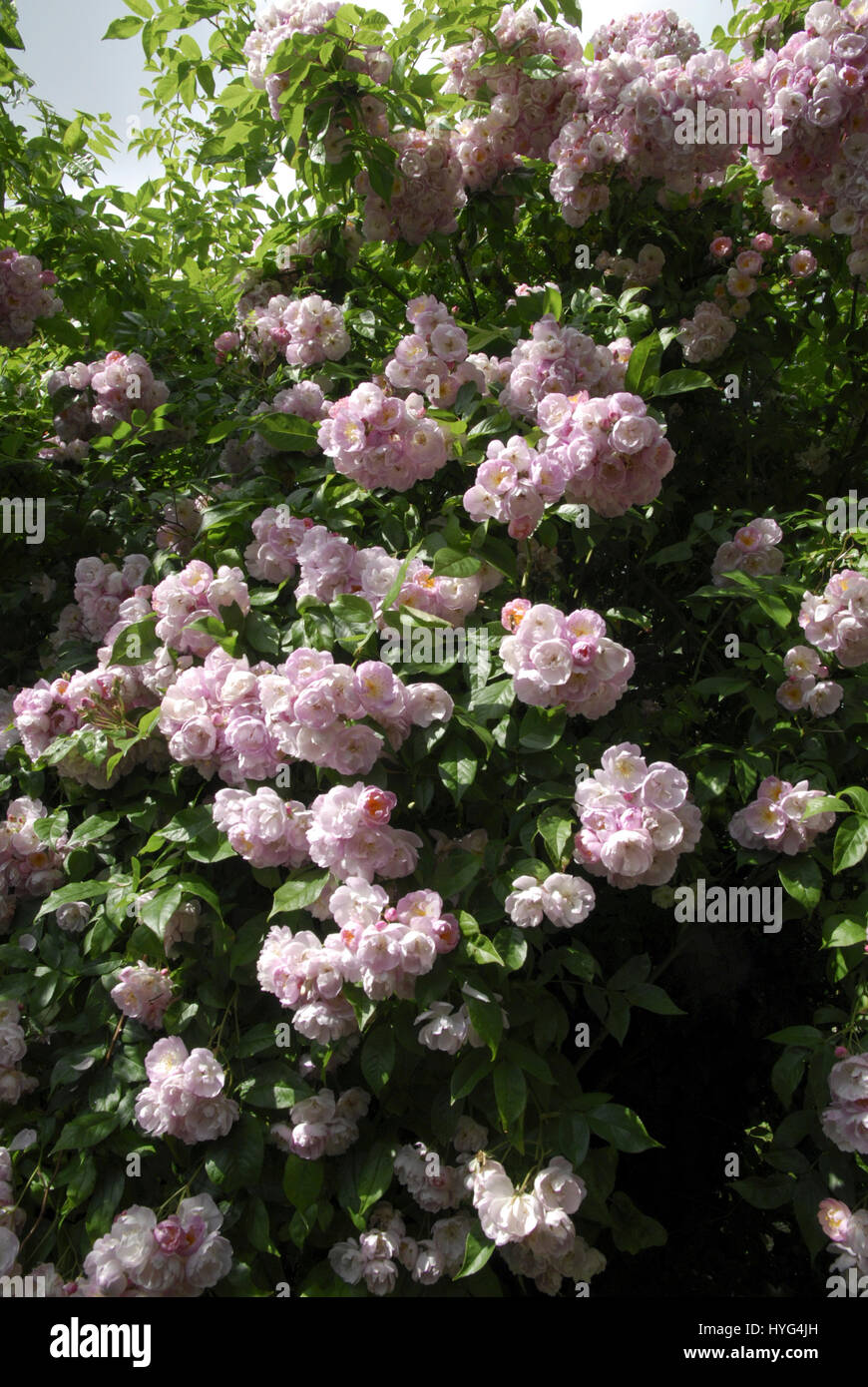 Rambling Rose with Pink Flowers.  Variety Uncertain - Stock Image