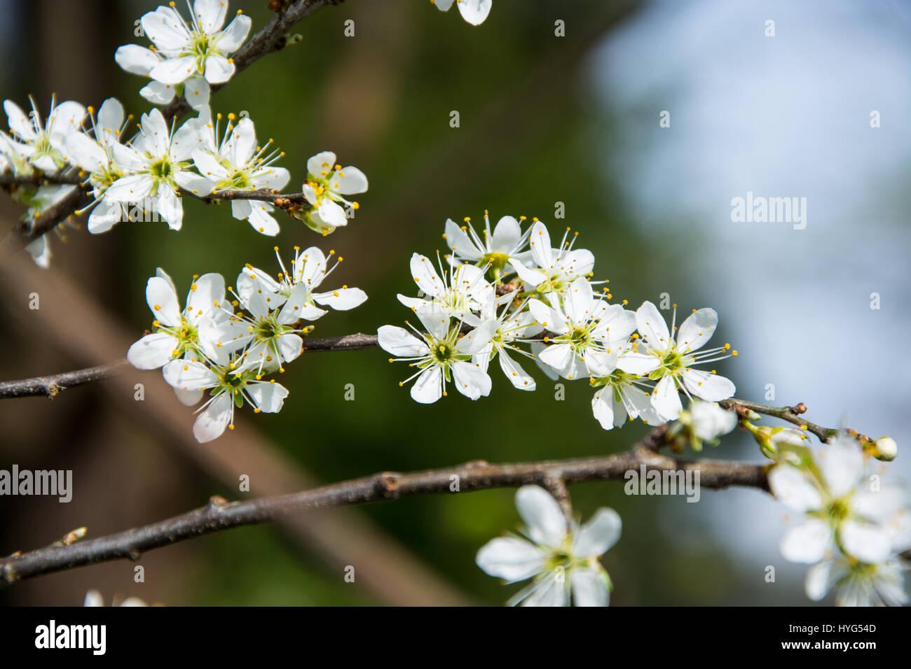 Clouseup Of White Plum Flower Spring Blossom Stock Photo 137423565