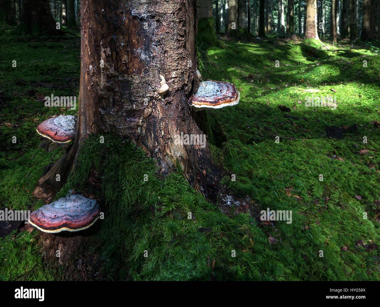 Three big reddish bracket fungi - Stock Image