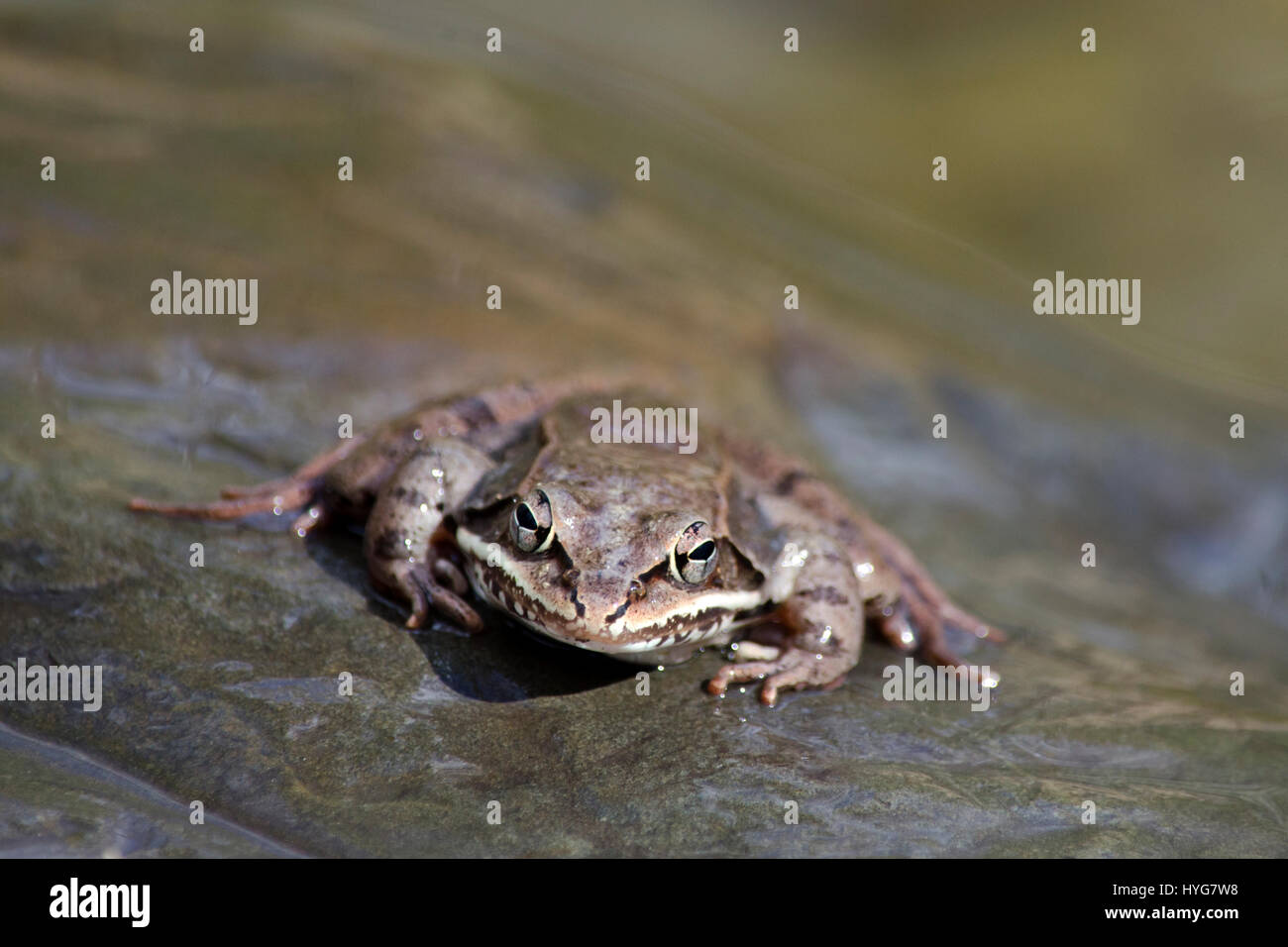 Wood Frog close up front view on rock near pond in central New York, USA. - Stock Image