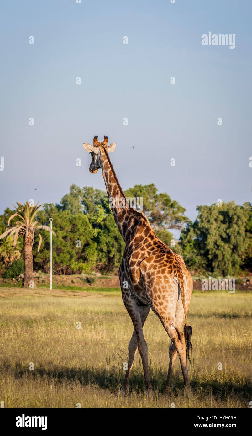 Game drive - safari animals in South-Africa - Stock Image