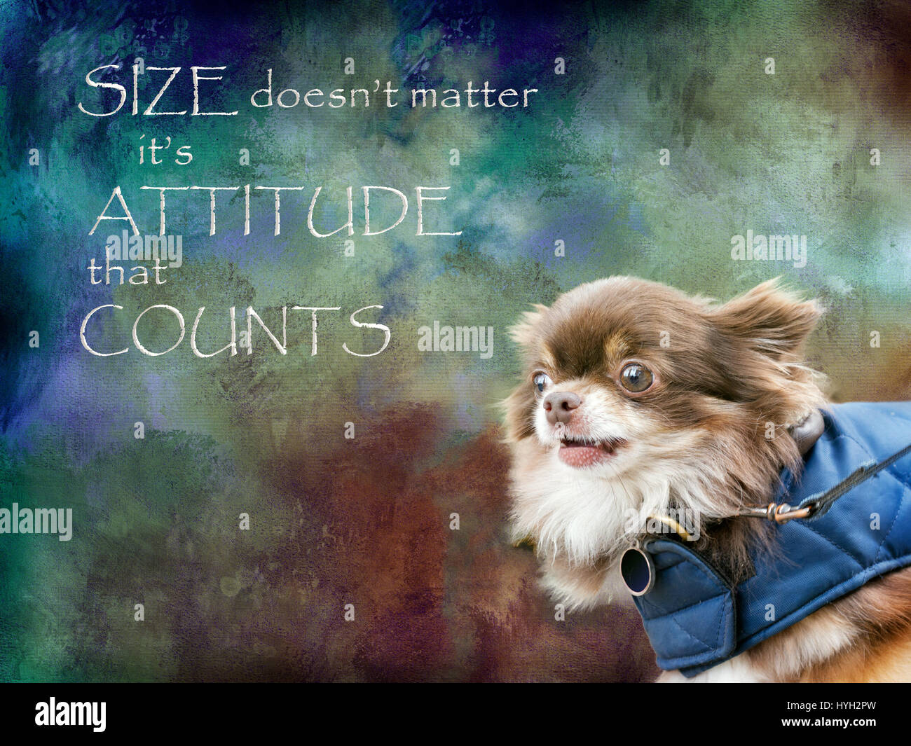 Size doesn't matter it's attitude that counts. Ferocious chihuahua dog. - Stock Image