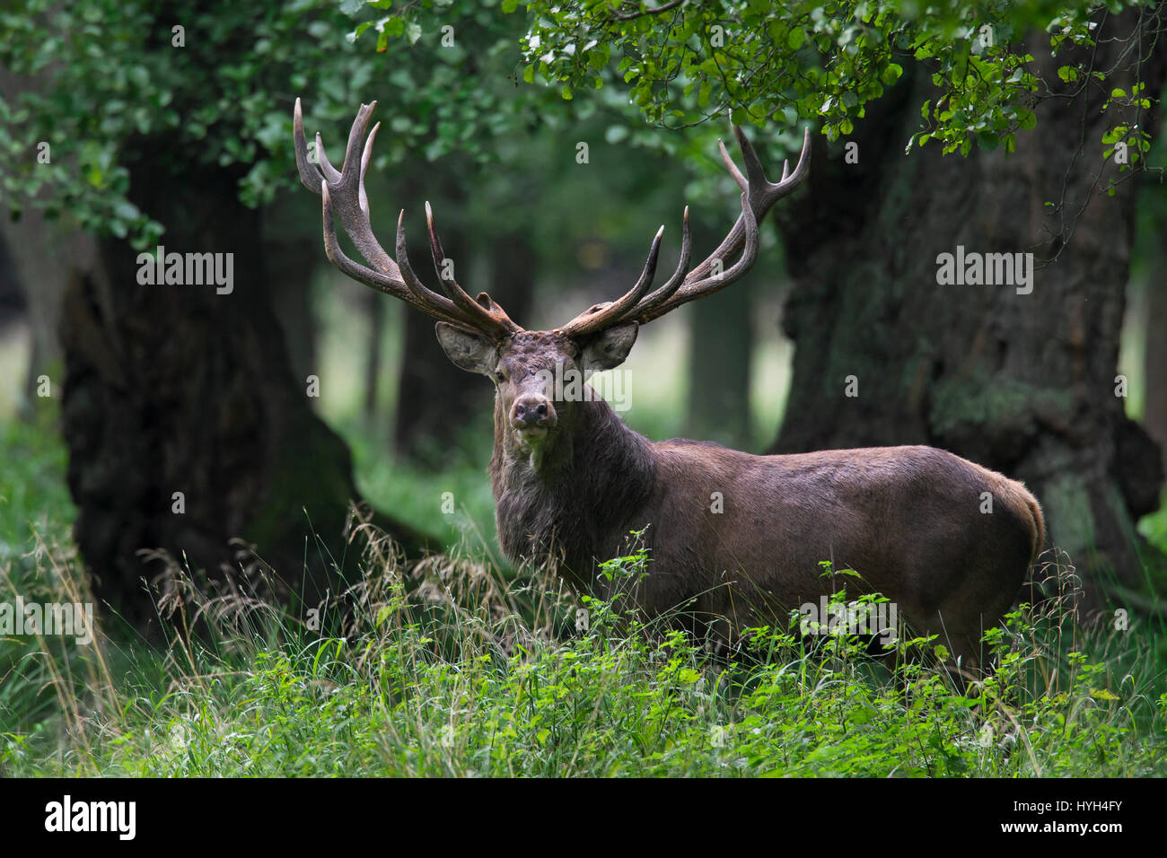Red deer (Cervus elaphus) stag during the rutting season in beech forest - Stock Image