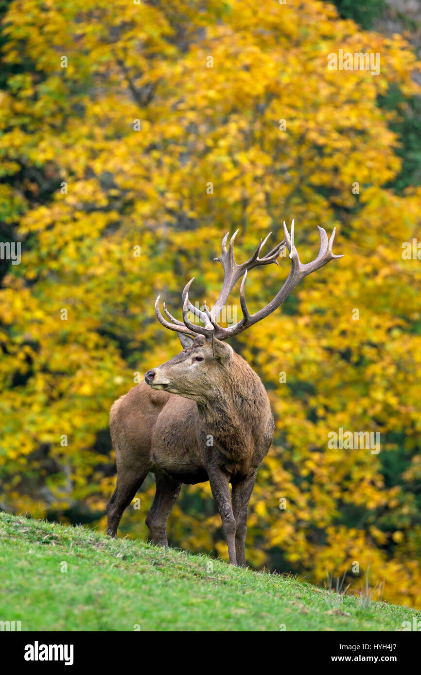 Red deer (Cervus elaphus) stag during the rutting season in autumn forest - Stock Image