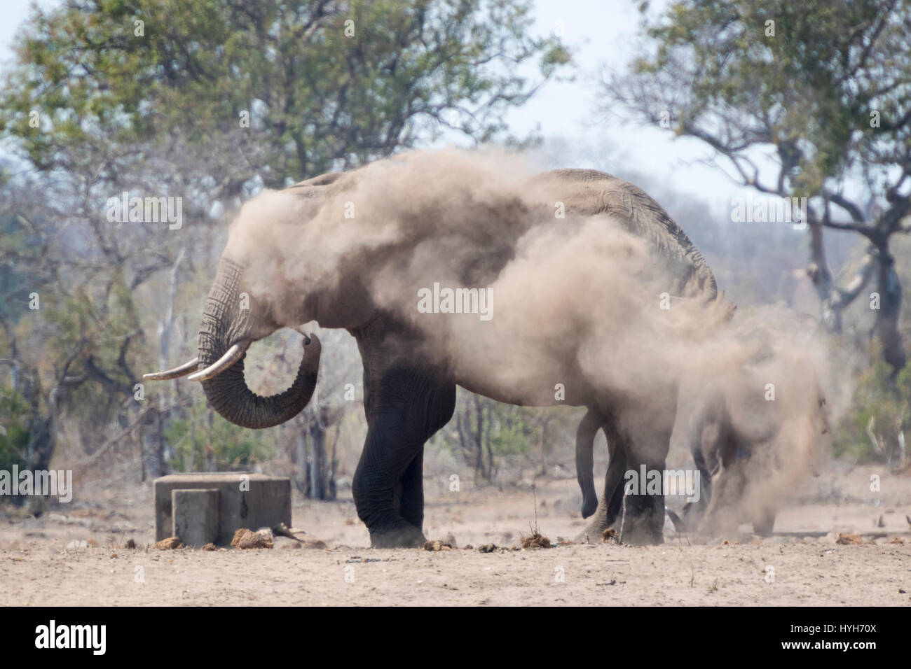 African Elephant (Loxodonta africana) bull, taking dust bath, Kruger national park, South Africa. - Stock Image