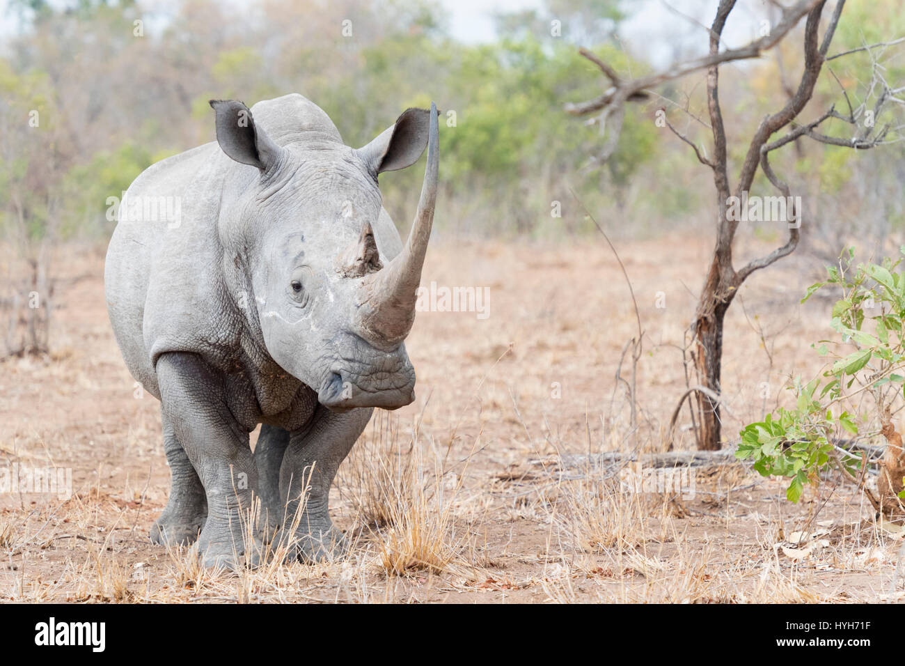 White rhinoceros (Ceratotherium simun) standing on savannah, looking at camera, Kruger National Park, South Africa Stock Photo