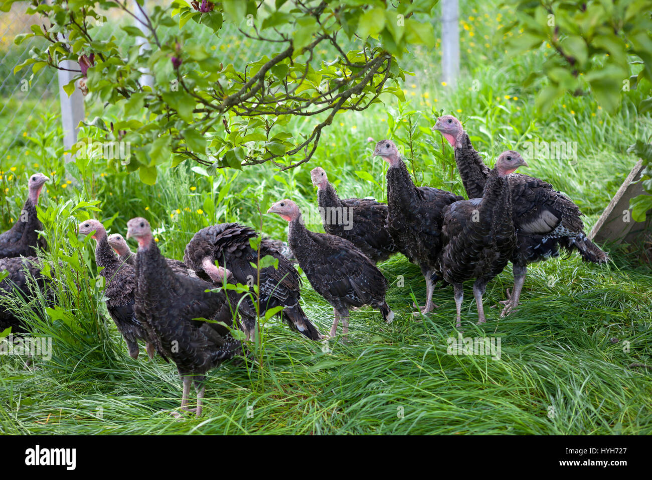Young turkey chicks on farm in the open - Stock Image