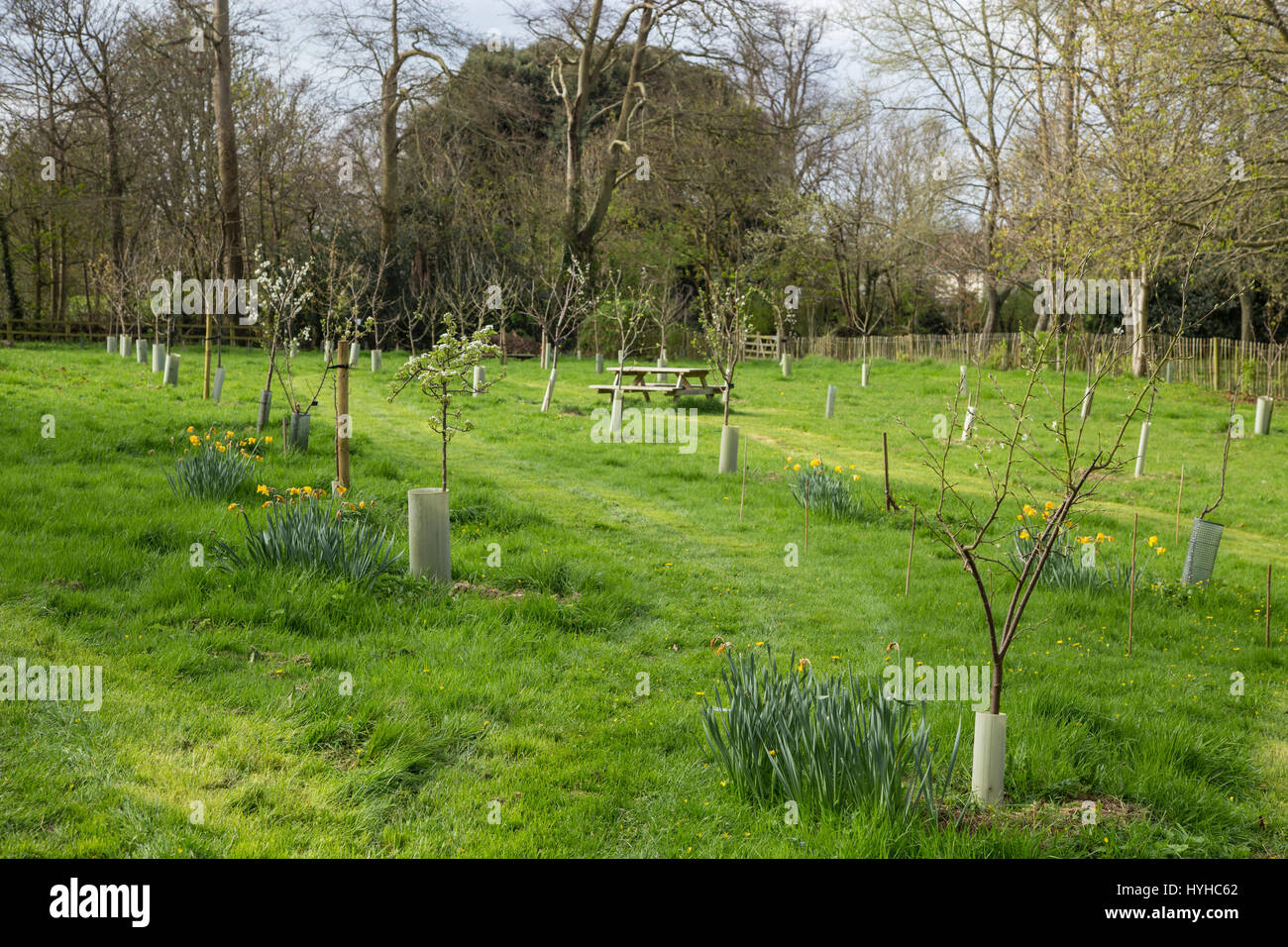 A community orchard in The Byes, in Sidmouth, with fruit trees, benches, and daffodils. - Stock Image
