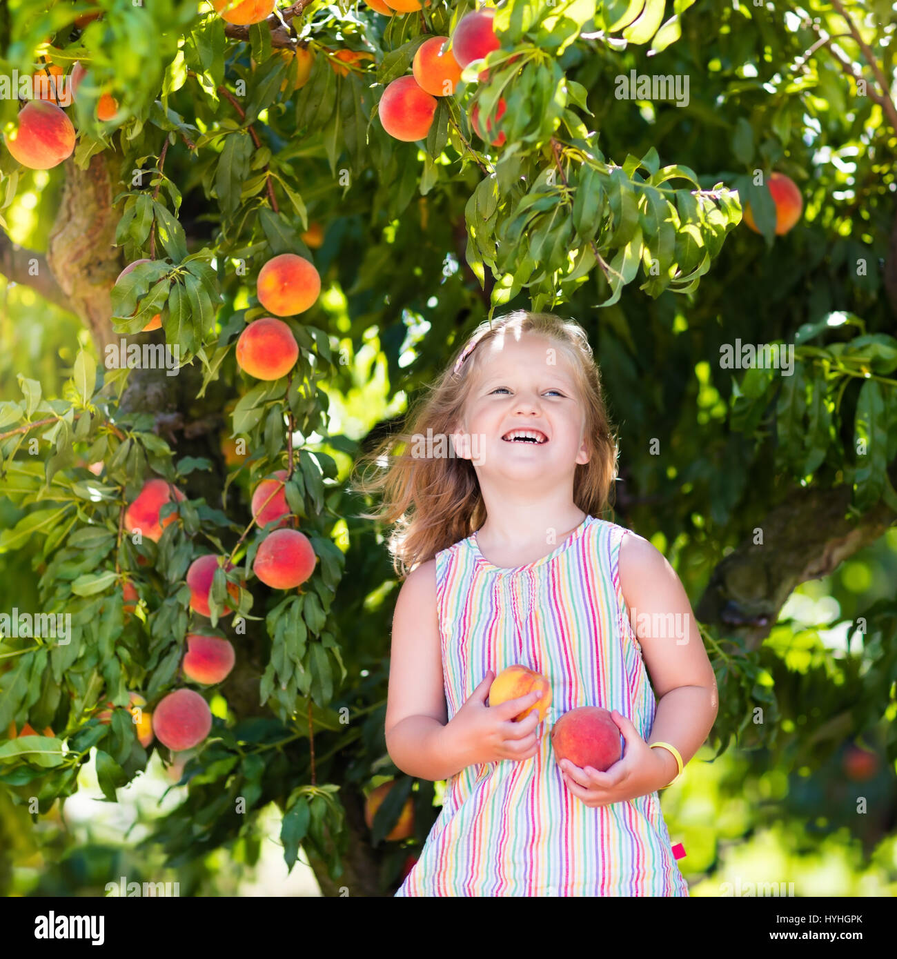 Little girl picking and eating fresh ripe peach from tree on organic ... for Fruit Farm Photography  51ane