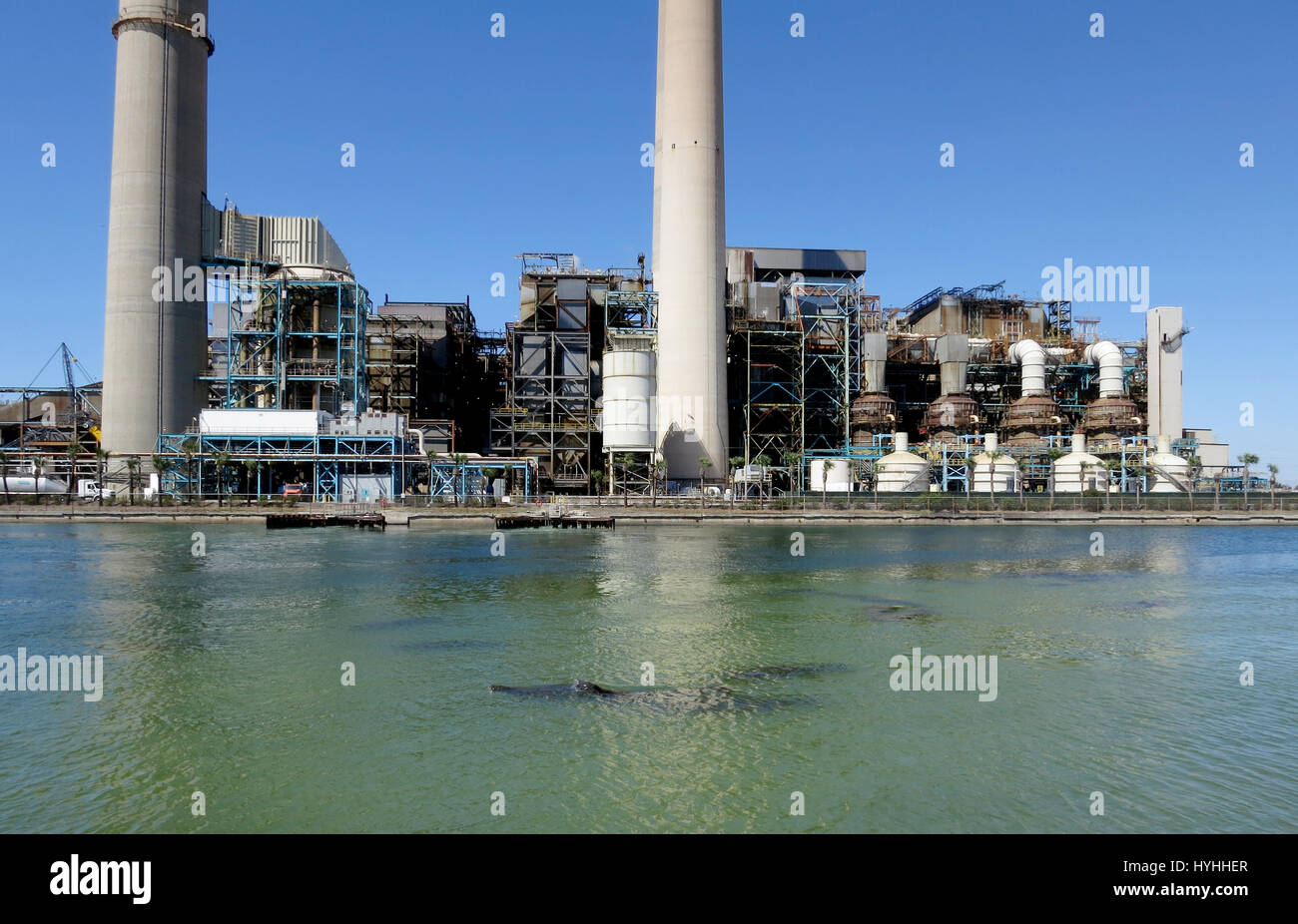 Manatees come up for air in the warm waters at the base of Tampa Electric's coal fired Big Bend Power Station - Stock Image