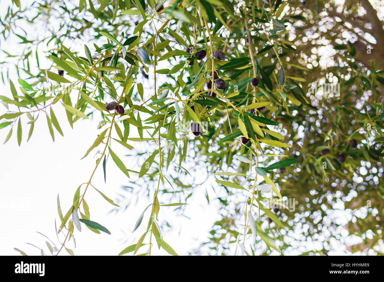 Branch Of Olive Tree With Fruits And Leaves Natural Agricultural