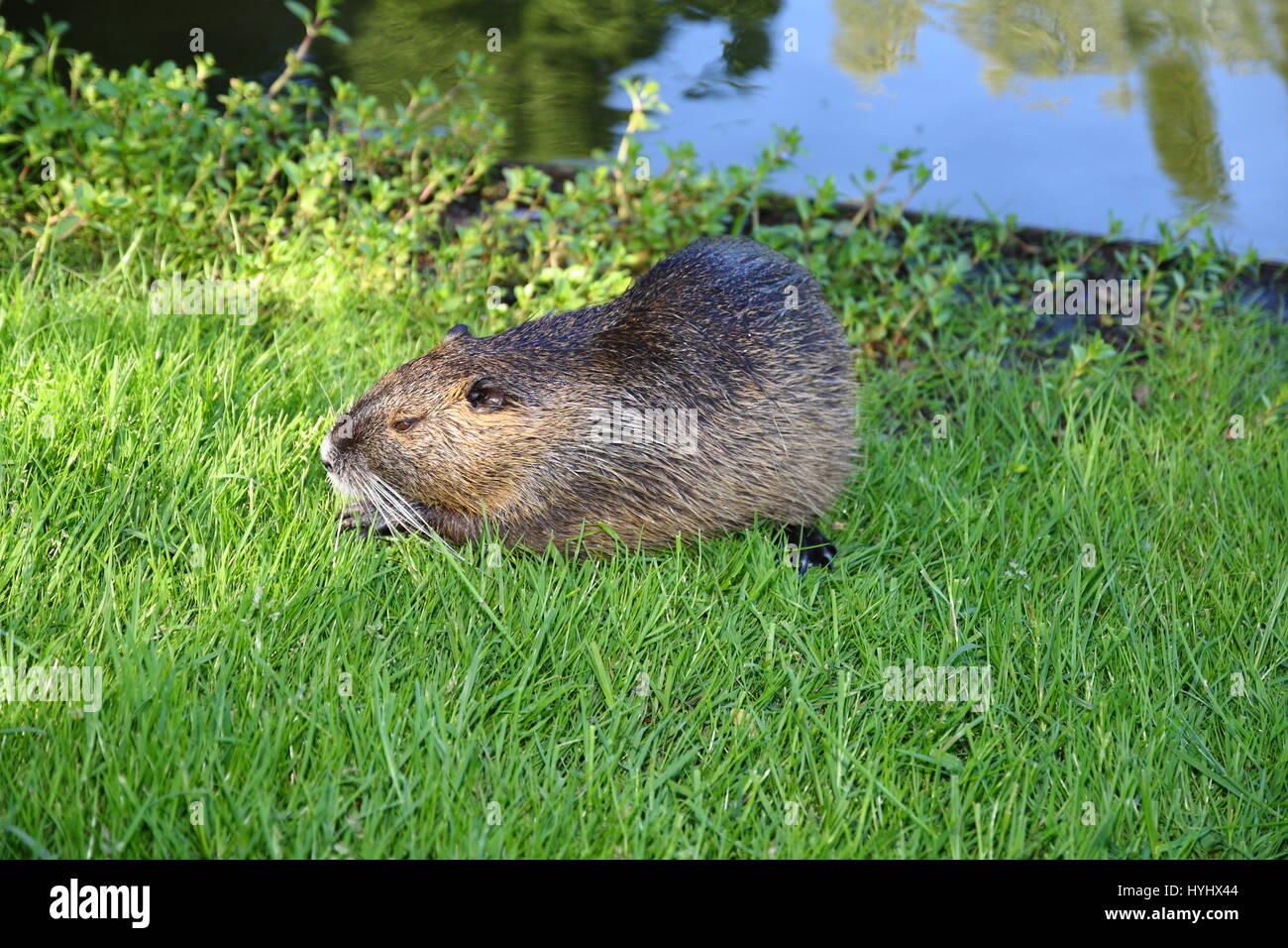 Ein coypu, Nutria frisst Gras auf einer grünen Wiese. Im Hintergrund ist das Wasser von einem Teich zu sehen. - Stock Image