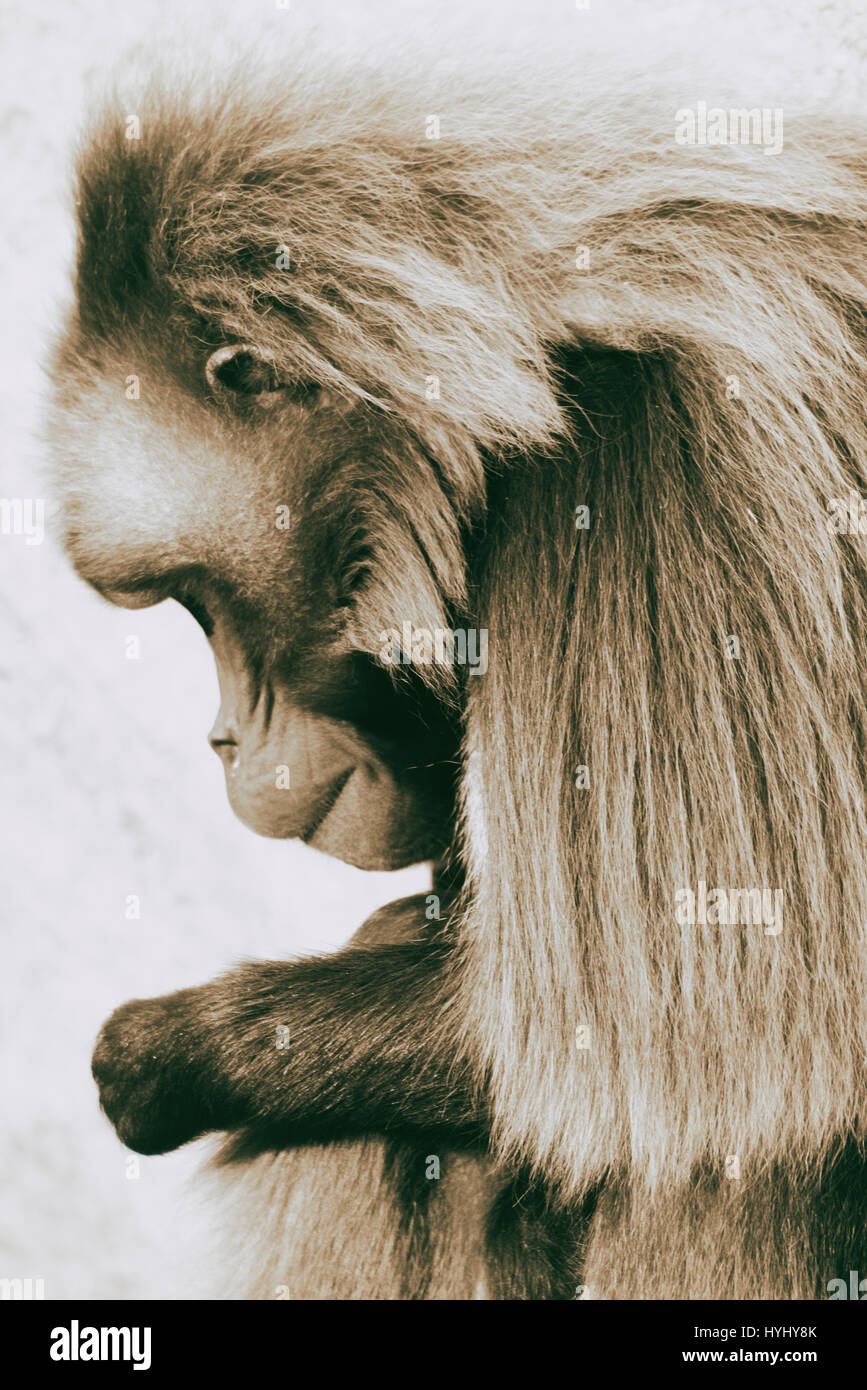 Geladas are mid-sized monkeys, which are living in the highlands of Ethiopia only. They are living on the ground. - Stock Image