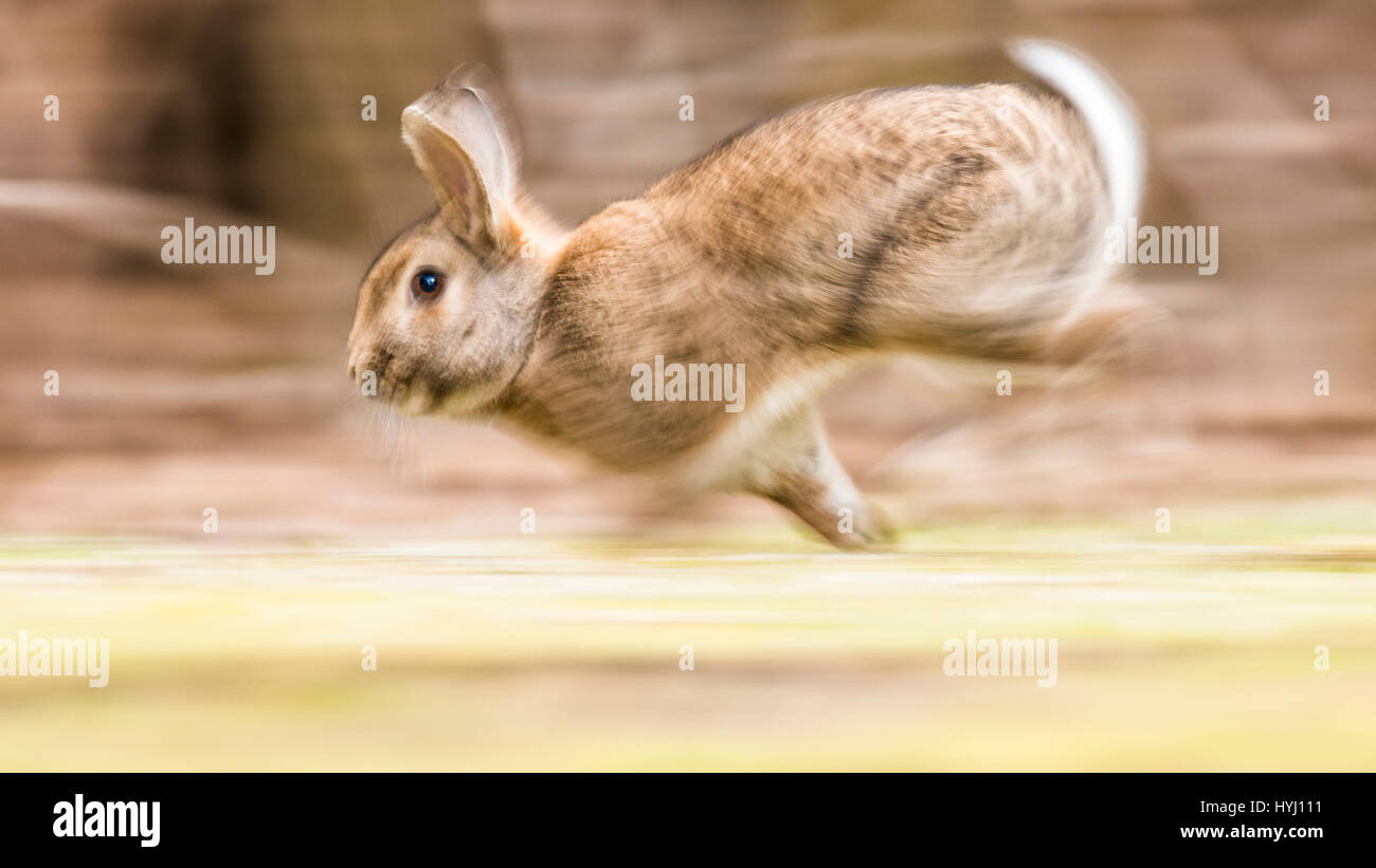 Wild rabbits (Oryctolagus cuniculus) sprints on a meadow, Mitzieher, Lower Austria, Austria - Stock Image