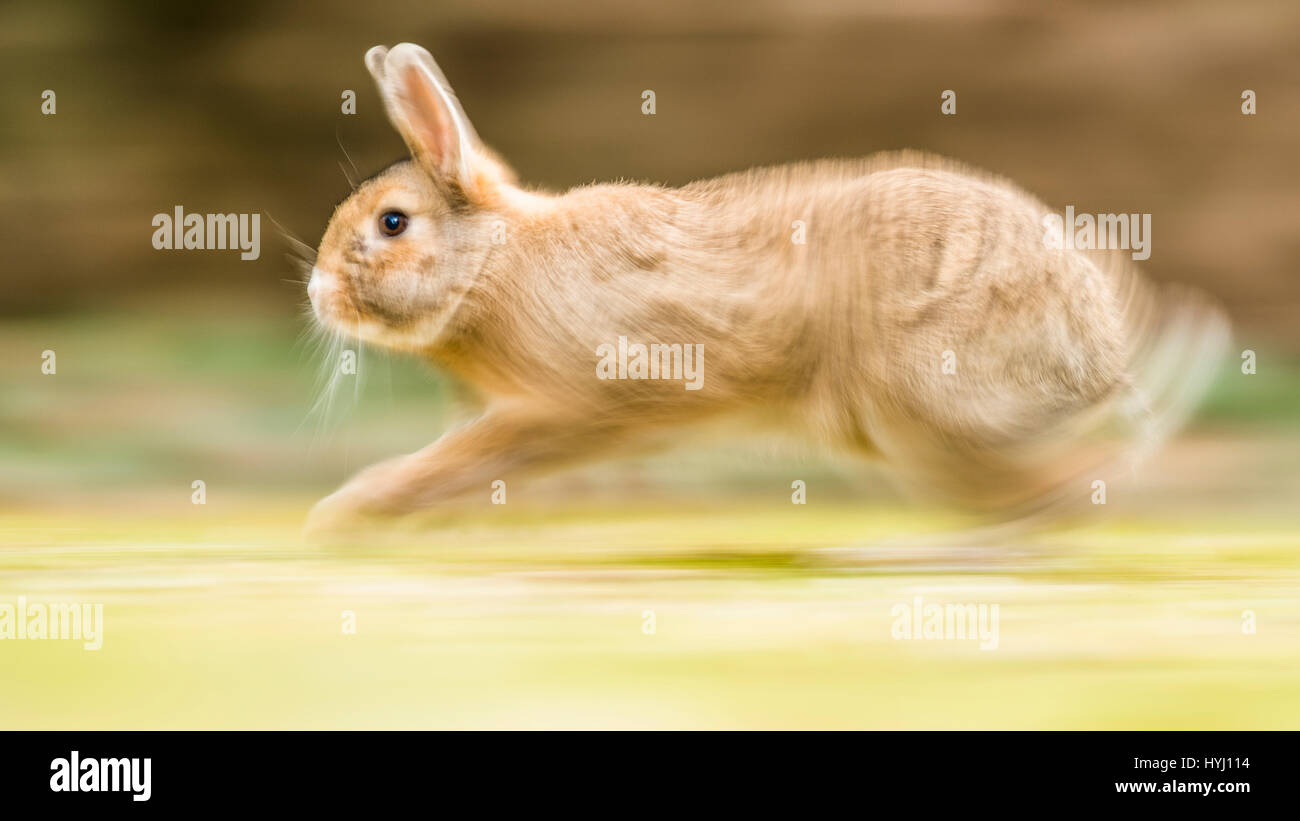 Wild rabbits (Oryctolagus cuniculus) sprints on a meadow, crossing with domestic rabbits (Oryctolagus cuniculus - Stock Image