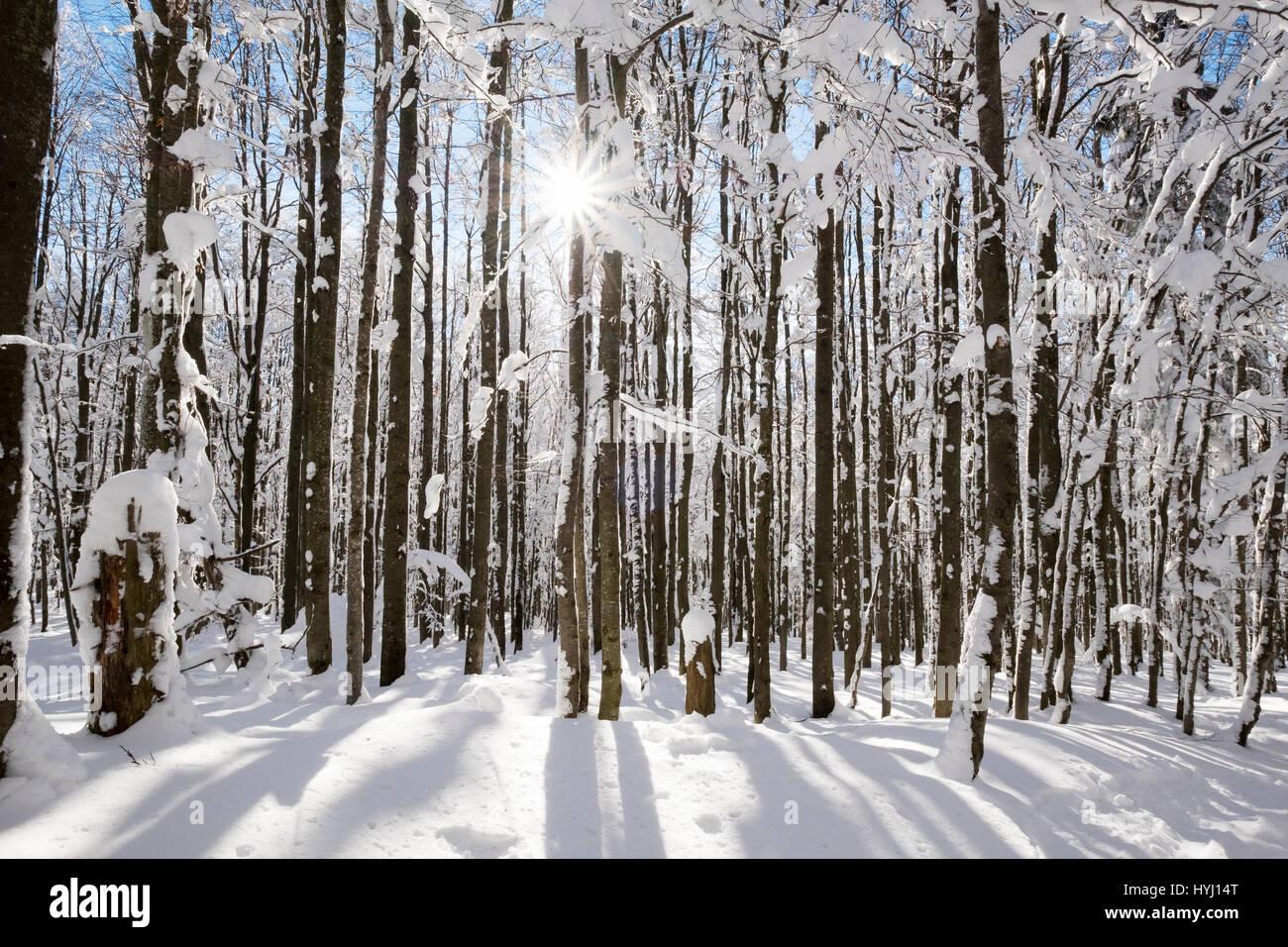Beech trunks, forest with snow, Lusen in Neuschönau, Bavarian Forest National Park, Lower Bavaria, Bavaria, Germany Stock Photo