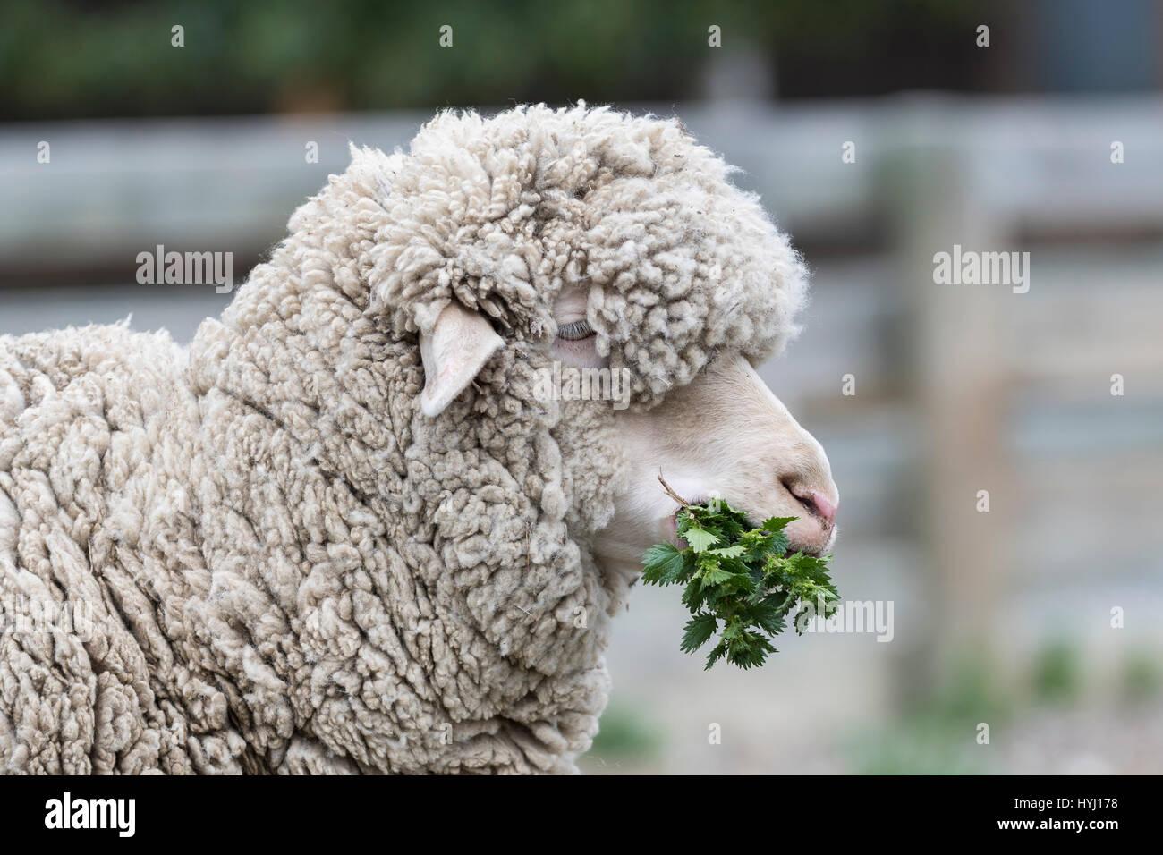 Merino sheep feeding on nettles, Southland, New Zealand - Stock Image