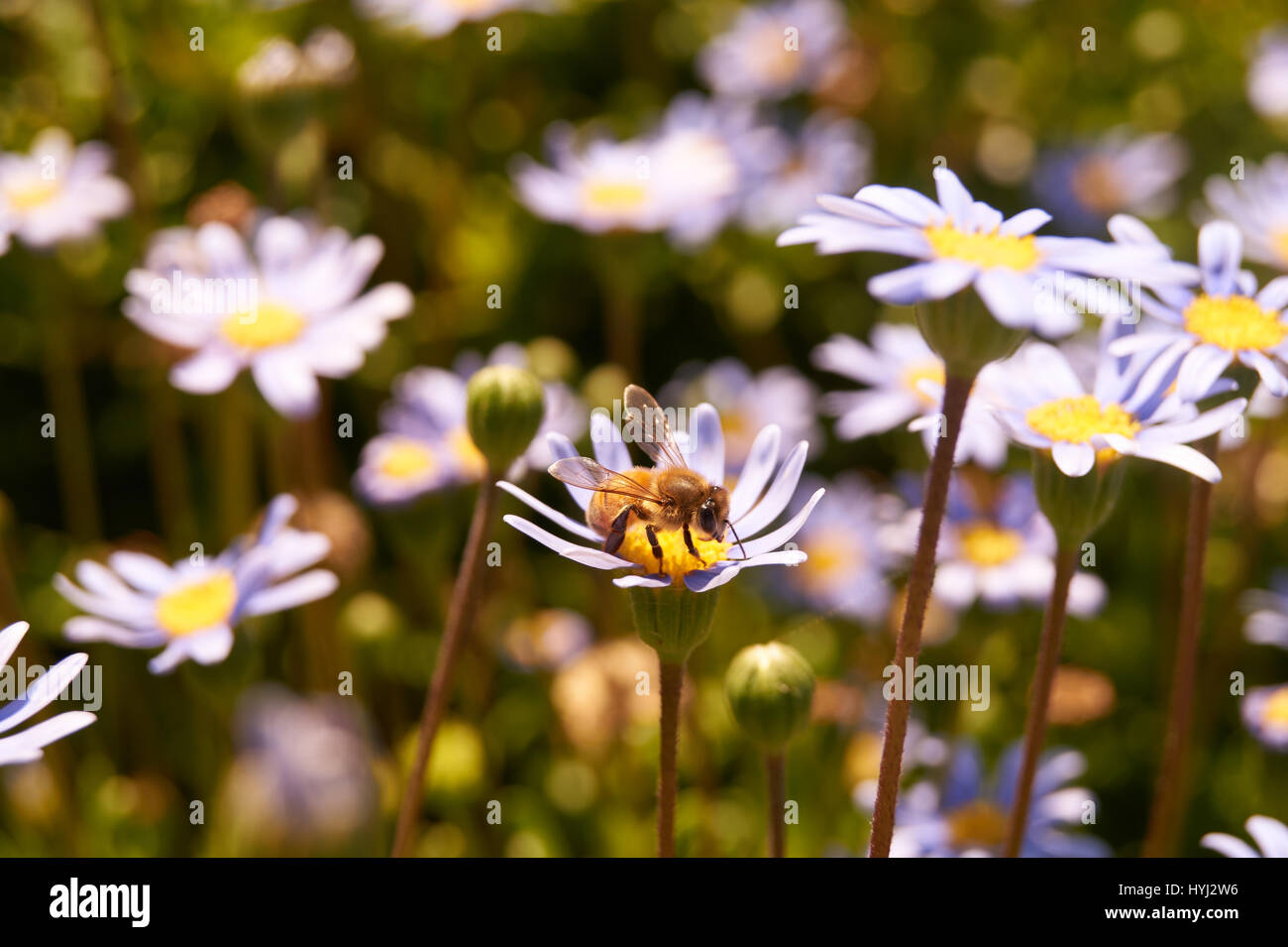 close up of bee on daisy - Stock Image