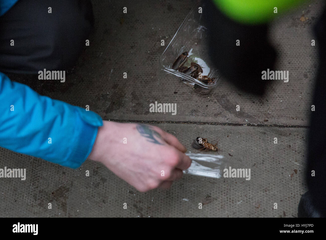London, UK. 4th April, 2017. An activist collects cockroaches after they were deposited outside the Property Developers' - Stock Image