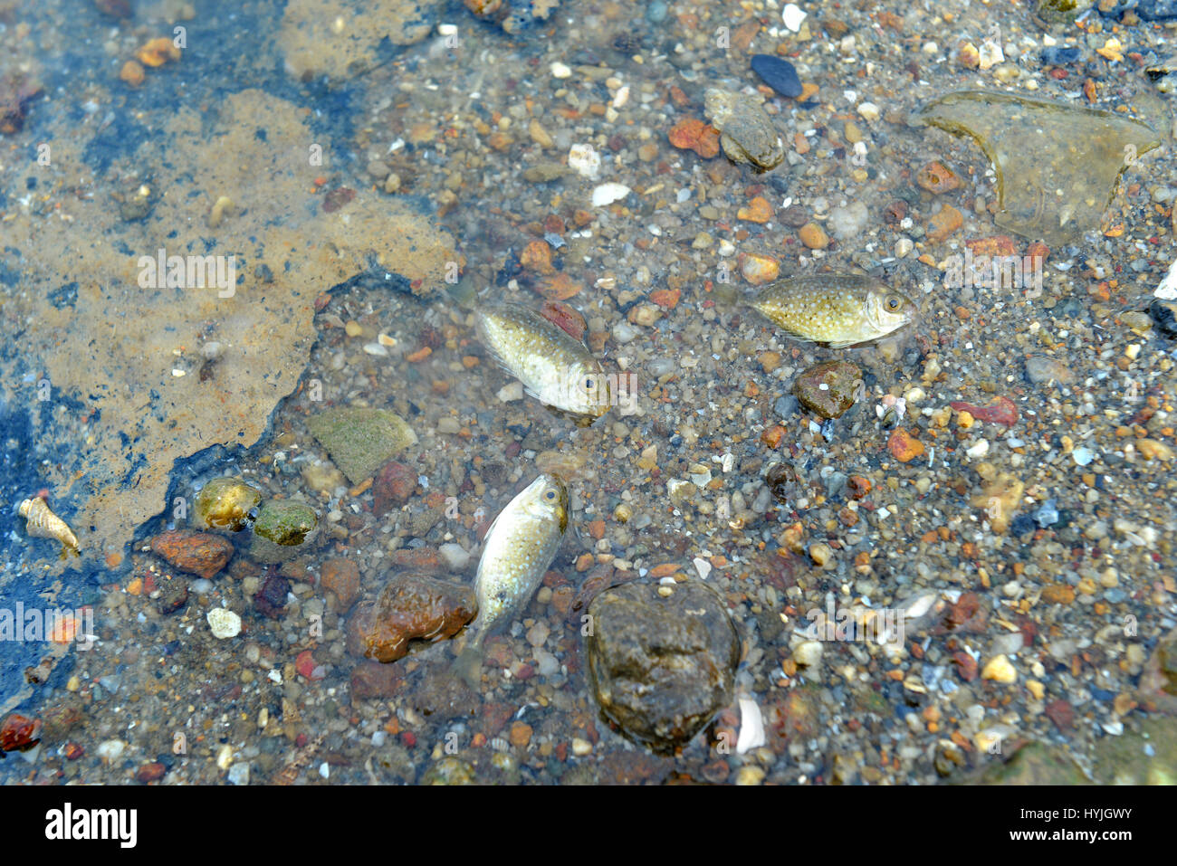 Small fish die on the dirty beach photo in outdoor sun and low lighting. - Stock Image