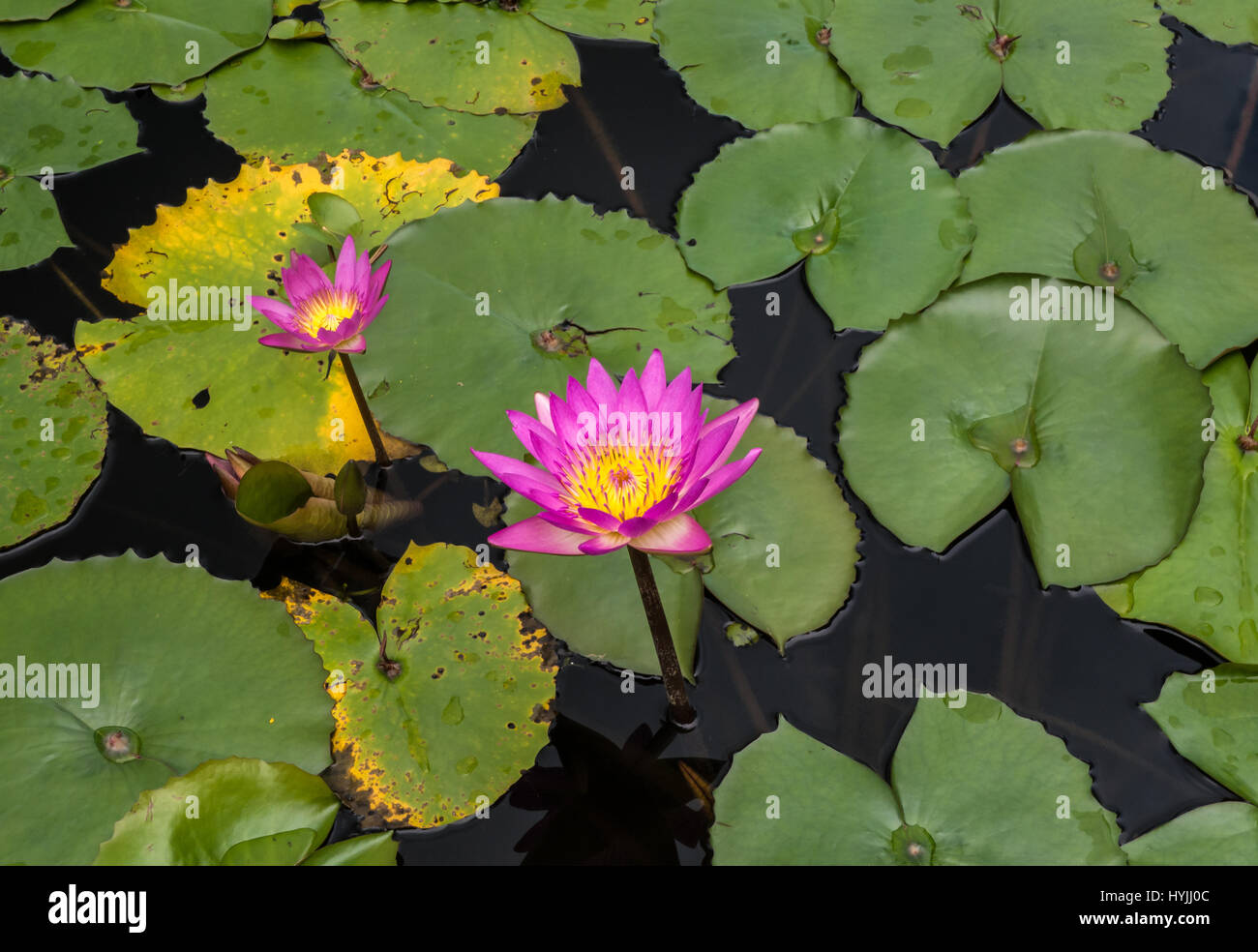 2 flowering pink water lilies hovering over buds and leaves in a water pond. - Stock Image