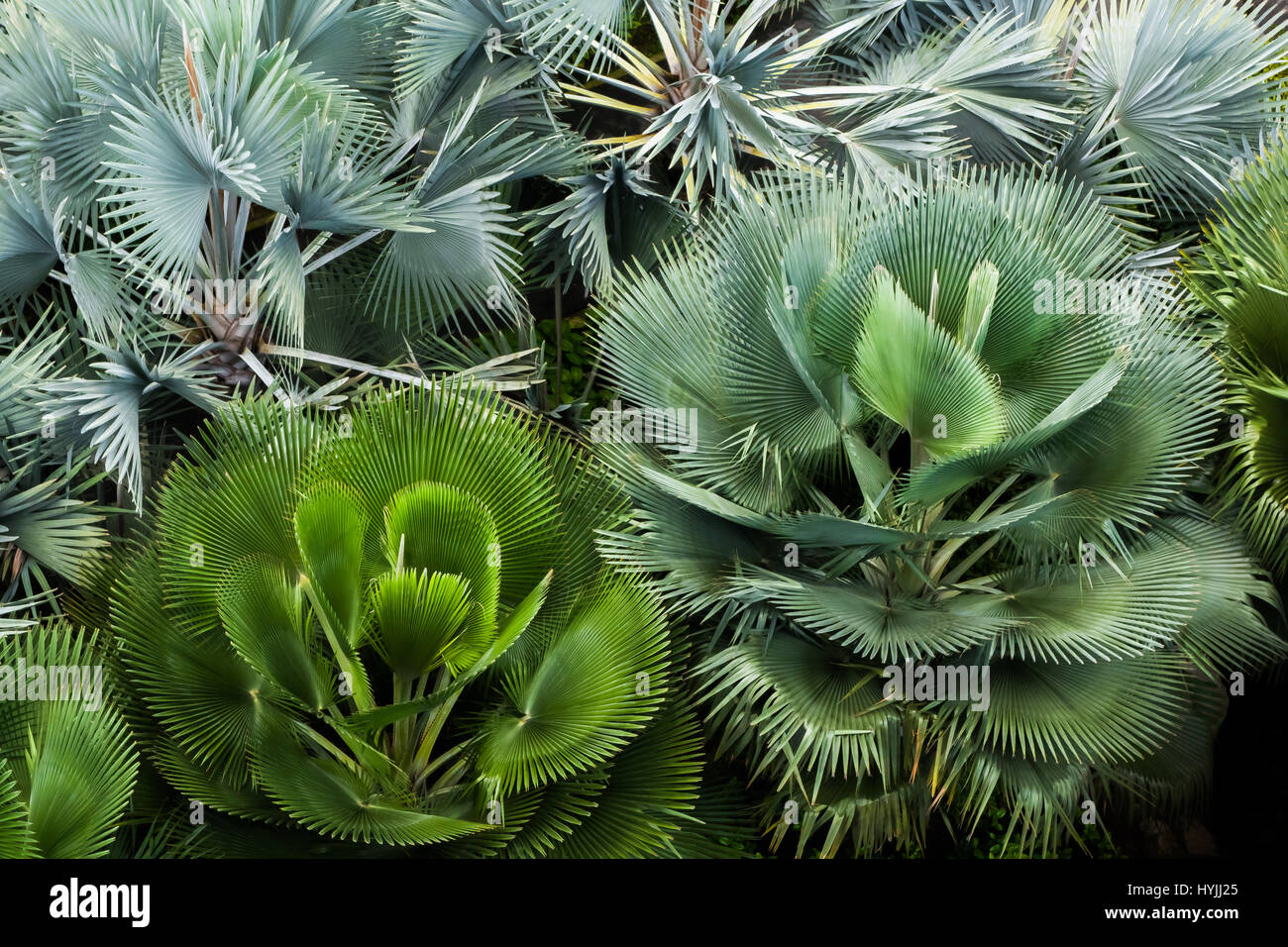 Birds eye view of lush, thriving and green fan palm bush flowerbed - Stock Image