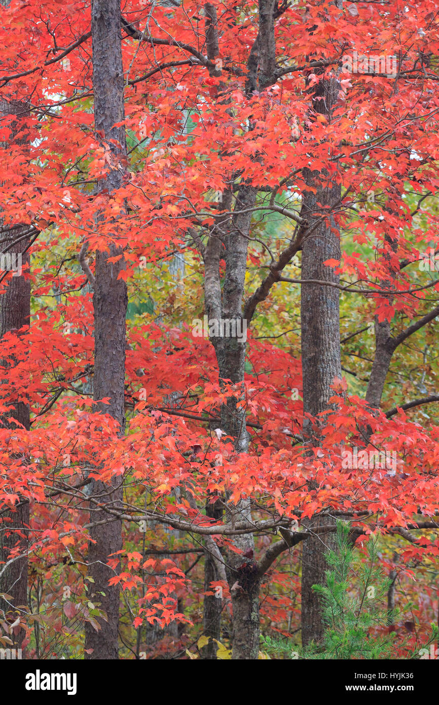 Sweet Gum Tree With Red Leaves In Autumn North Carolina Stock Photo Alamy