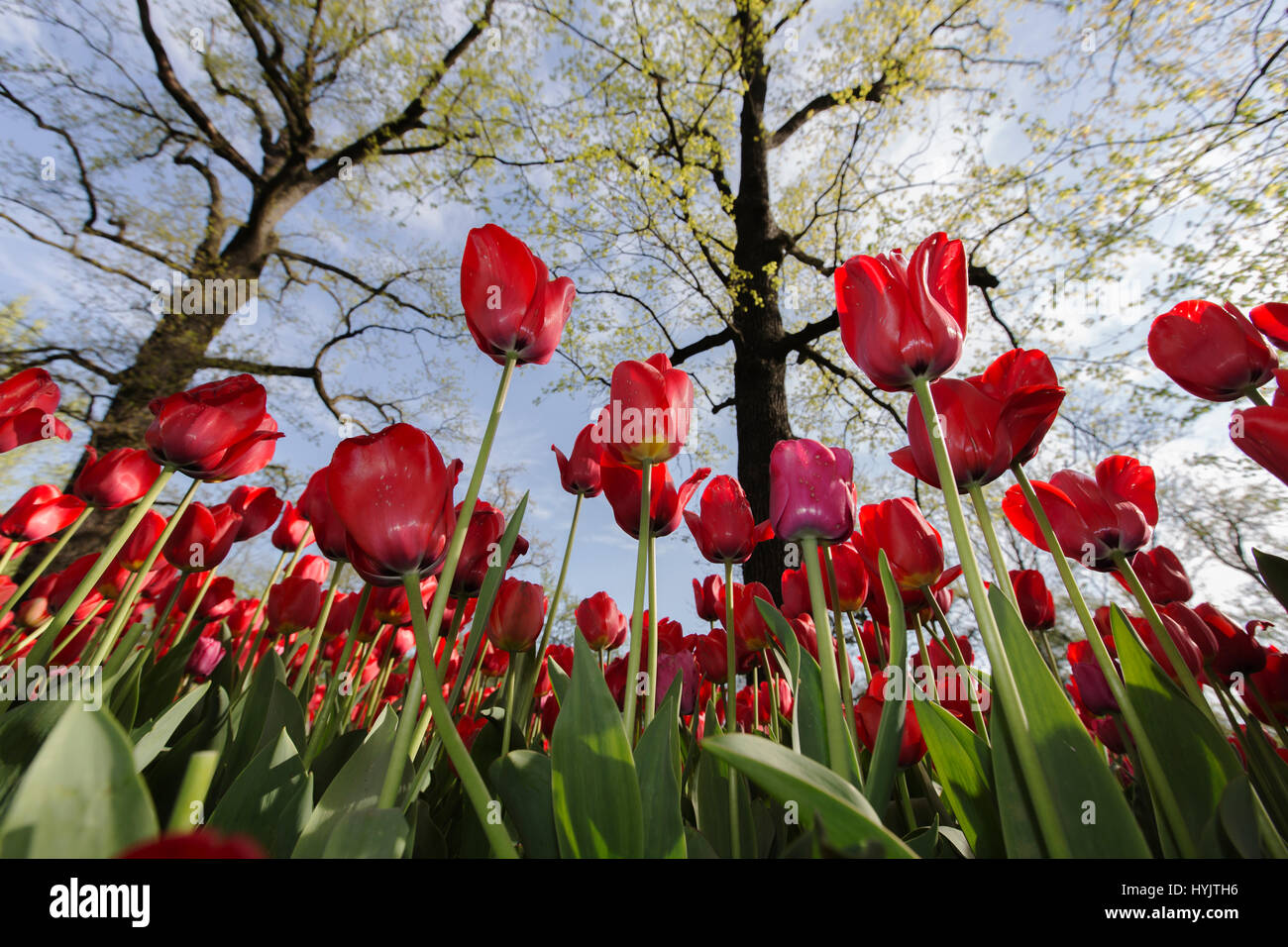 Pralormo castle,flourishing tulips in April for the event 'Messer Tulipano',Piedmont,Italy,Europe - Stock Image