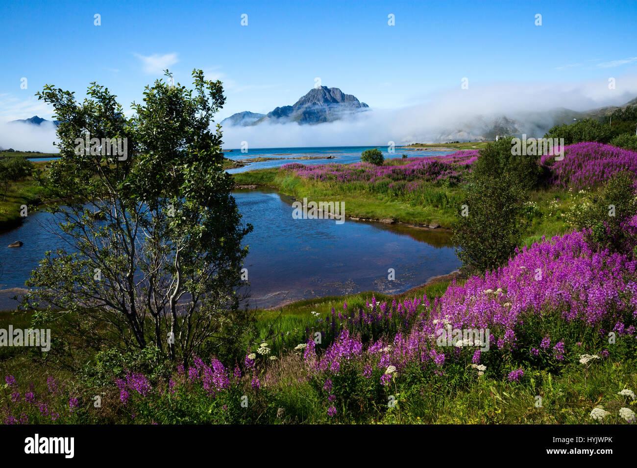 Europe,Norway,Lofoten,Tussan proximity,wildflowers and fof under the mountain peaks - Stock Image