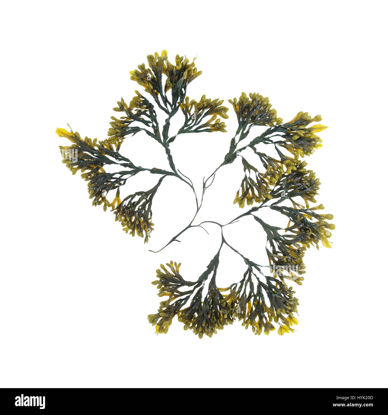 Fucus spiralis (Spiral Wrack) photographed on a light box/white background. - Stock Image