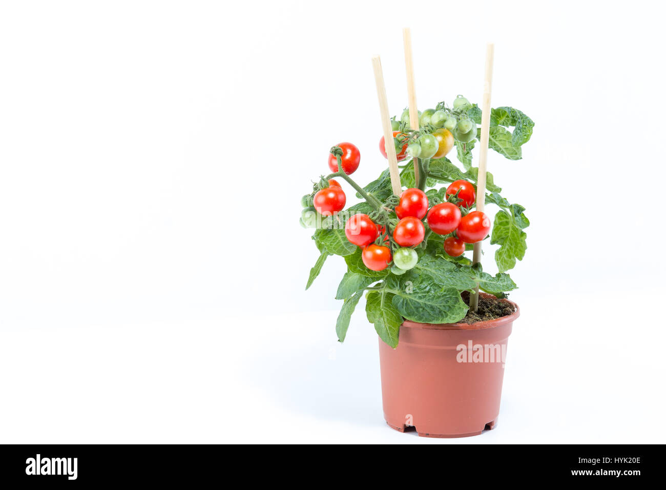 Single home cultivated organic cherry tomatoes tree with mini red fresh tomatoes hanging on it, planted in a brown - Stock Image