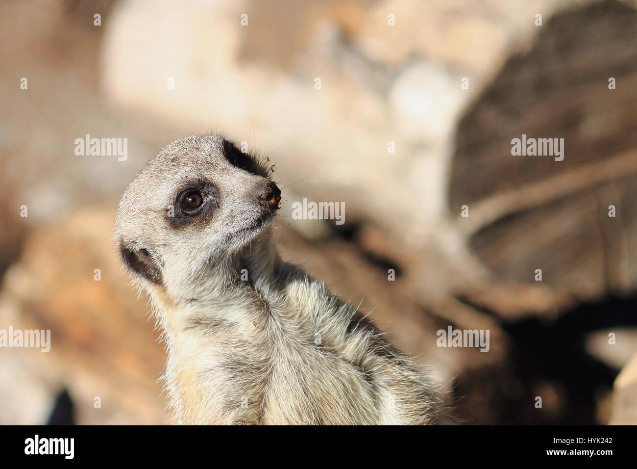 The meerkat or suricate (Suricata suricatta) is a small carnivoran  belonging to the mongoose family - Orana Wildlife - Stock Image