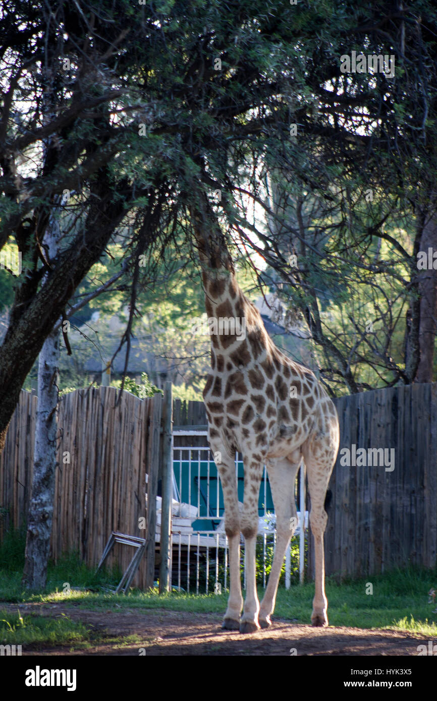 Giraffe playing hide and seek - Stock Image