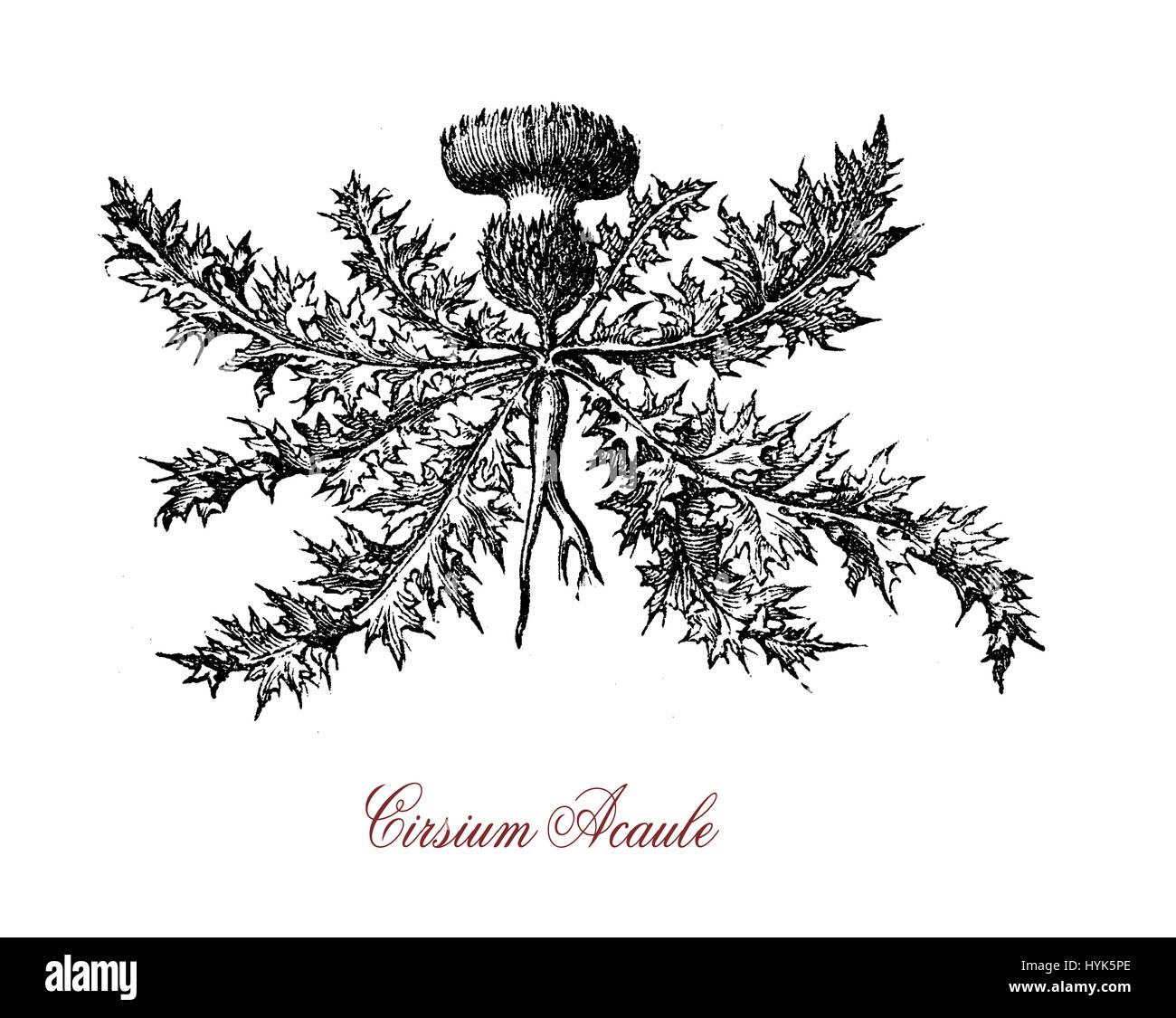 Botanical vintage engraving of Cirsium acaule, perennial herb  native to Europe with spiny hairy leaves pread like - Stock Image