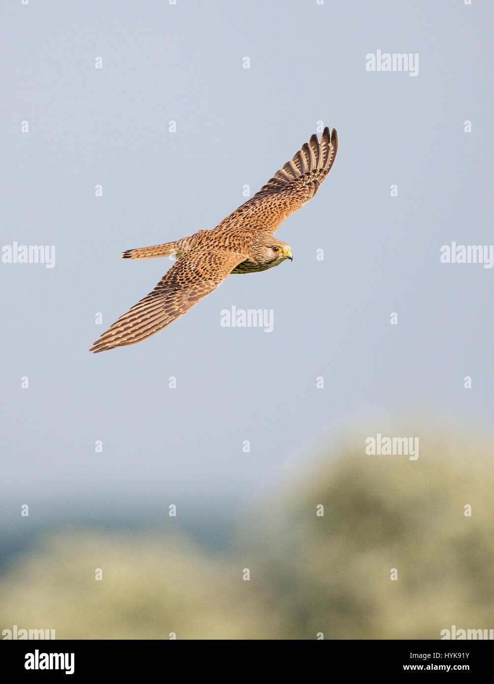 Female Common Kestrel (Falco tinnunculus) in flight - Stock Image