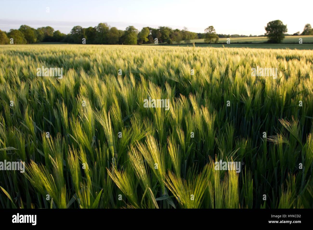 Wheat field near Hannington Hampshire - Stock Image