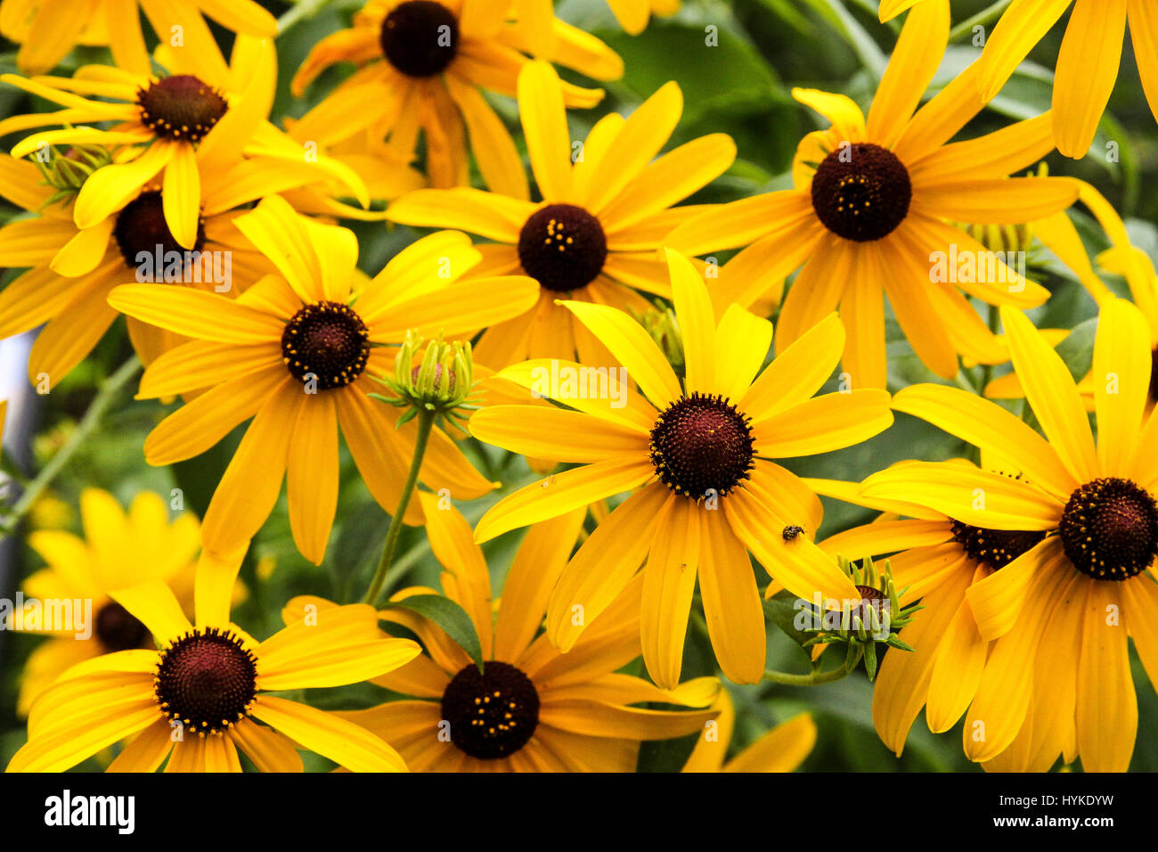 black eyed susans. beautiful display of wild echinacea flowers in full boom on a summer day - Stock Image