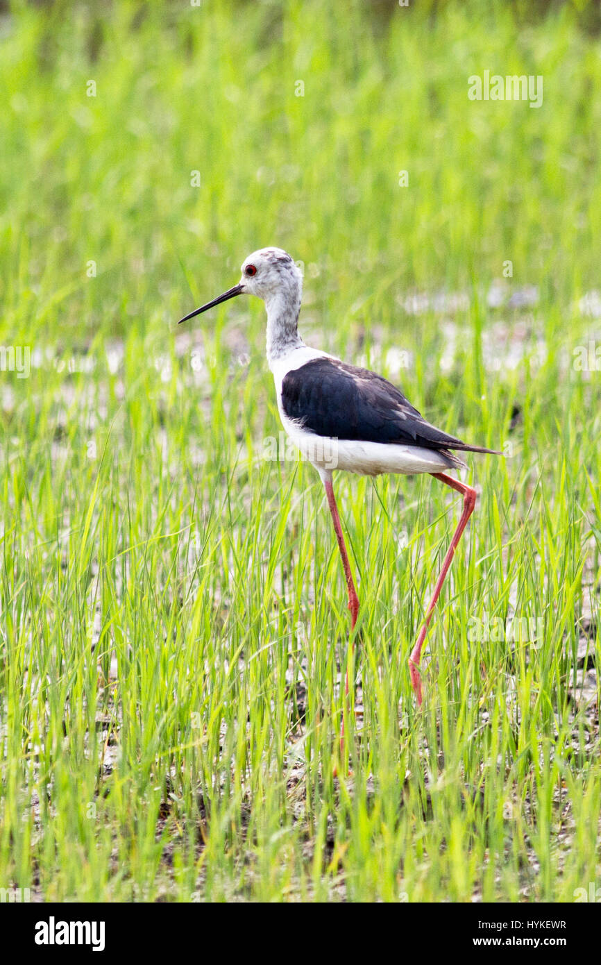 A juvenile Black-winged Stilt (Himantopu himantopus) walking in a field of young rice in central Thailand Stock Photo