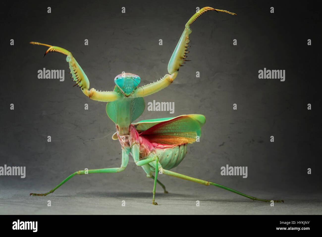 MUNICH, GERMANY: FROM CHA-CHA-CHA to Samba these Strictly mantids definitely favour the Latin moves. Side-splitting Stock Photo