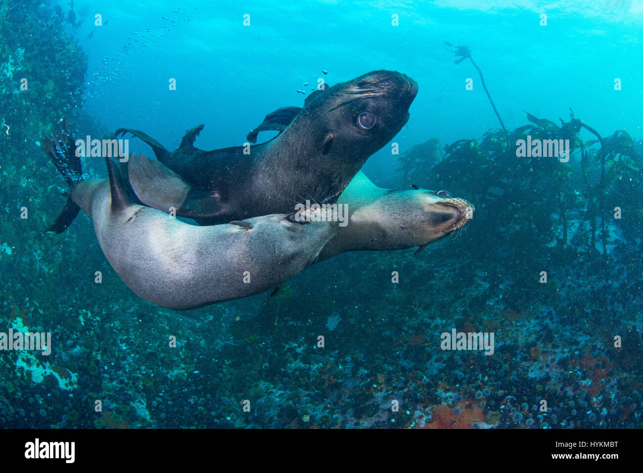 SIMON'S TOWN, SOUTH AFRICA: ONE PLAYFUL seal was enjoying itself so much it picked up a starfish with its mouth - Stock Image